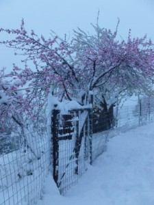 fruit-trees-snow-after