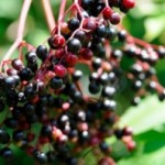 Elderberries @ Traditional-Foods.com