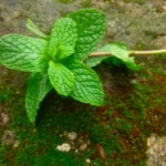 Peppermint OIl for Mice @ Traditional-Foods.com