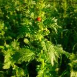 nettle-ladybug
