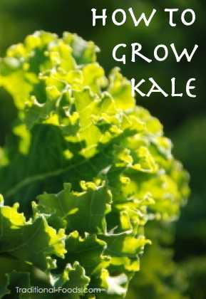 Growing Kale In Your Garden | Gardening @ Traditional Foods Companion Planting Kale
